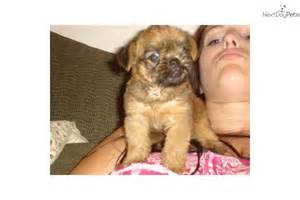 Teacup Brussels Griffon Puppies