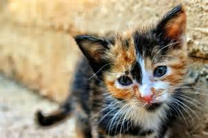 calico cat calico cats why are they always