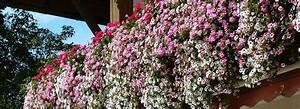 Pflanzen Für Balkonkästen Sonnig : balkonbepflanzung bei sonne halbschatten und schatten ~ Bigdaddyawards.com Haus und Dekorationen