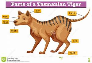 Diagram Showing Parts Of Tasmanian Tiger Stock Vector