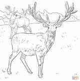 Deer Coloring Pages European Western Printable Dear Detailed Drawing Elk Mule Hunting Drawings Supercoloring Print Sketch sketch template
