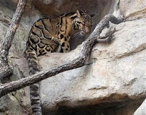 Picture 8 of 11 - Clouded Leopard (Neofelis Nebulosa