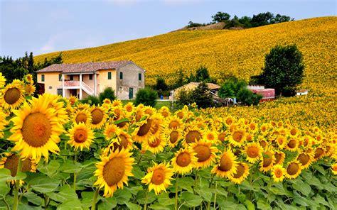 Italy sunflowers field wallpaper - 1348127
