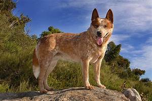How Big Do Red Heeler Dogs Get? | Cuteness