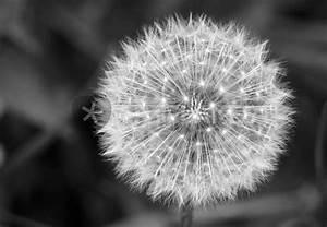 Bild Pusteblume Schwarz Weiß : pusteblume fotografie als poster und kunstdruck von thomas brandt bestellen artflakes com ~ Bigdaddyawards.com Haus und Dekorationen