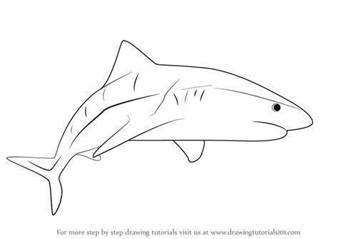 learn   draw  tiger shark fishes step  step