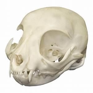Real Domestic Cat Skull  Kitten  For Sale  U2013 Skulls