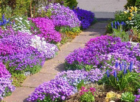 plants that come back every year i want to make the entrance to my house this way creeping pholx add so much color and come back