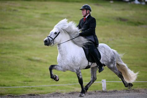 horse icelandic pony tolt horses wikipedia colors ponies iceland gaited short
