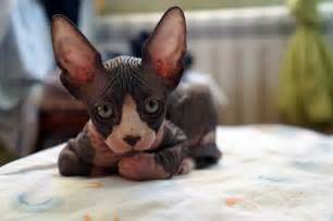 sphynx cat price what to consider when buying a hairless sphynx cat