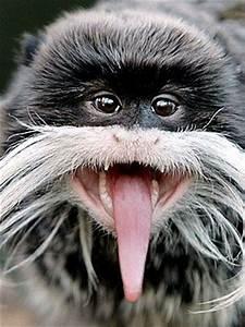 Emperor Monkeys have long tongues!! #Cantos #monkeys # ...