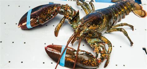 cuisiner le homard vivant image gallery le homard