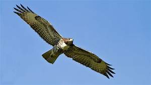 Flying Falcon | www.pixshark.com - Images Galleries With A ...