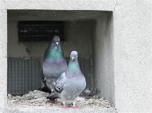 Faire Fuir Les Pigeons : faire fuir les pigeons solutions anti pigeon ~ Melissatoandfro.com Idées de Décoration