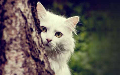 Wallpaper Cat white cat wallpapers wallpaper cave