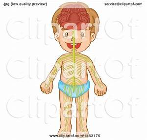 Clipart Of A Medical Diagram Of A Boy And Visible Nervous