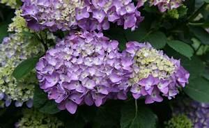 Hortensien Vermehren Durch Stecklinge : blumen garten pflanzen ~ Lizthompson.info Haus und Dekorationen