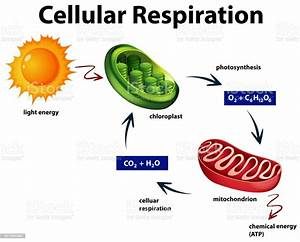 Diagram Showing Cellular Respiration Stock Illustration