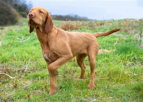 do vizsla puppies shed do hungarian wirehaired vizslas shed 100 images