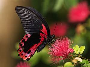SWALLOWTAIL BUTTERFLY COLORFUL BUTTERFLIES PAPILIONIDAE ...
