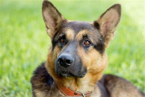 ehrlichiosis in dogs ehrlichiosis in dogs the signs diagnosis treatment