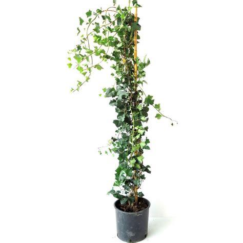 gelsomino coltivazione in vaso gelsomino in vaso ricanti gelsomino in vaso