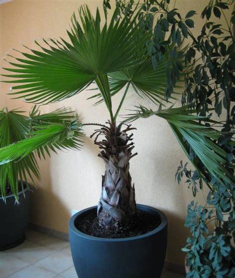 Große Palme Für Terrasse, Wohnzimmer Im Anthrazitfarbenen