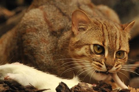 spotted rusty cat flickr