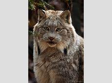 99 besten Katzen Puma Luchs Bilder auf Pinterest Luchs