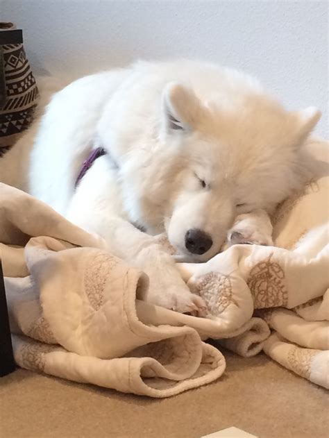 Chloe The Samoyed Is Especially Cute When She Is Sleeping