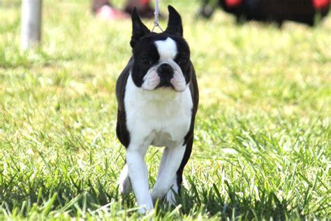 boston terrier breed information boston terrier images