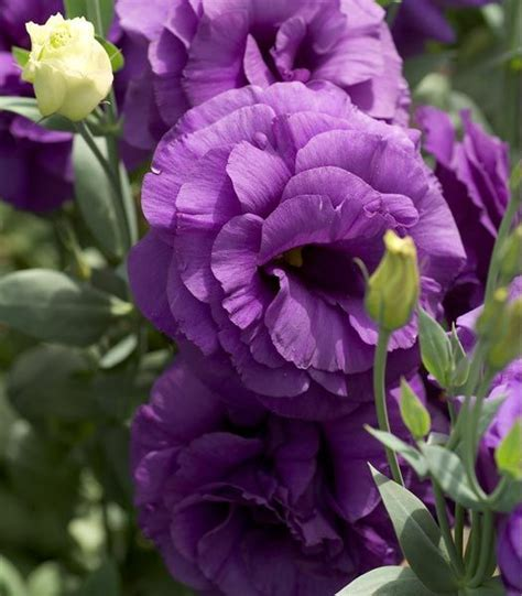 lisianthus flower 1000 images about flower lisianthus on pinterest blue roses longwood gardens and flower