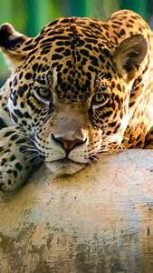 Wallpaper jaguar, wild, cat, sad face, Animals #10303