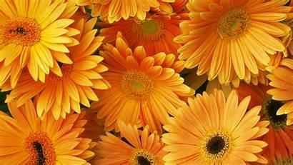 Orange Flower Wallpapers Flowers