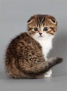 Scottish Fold Kitten | Cute & Cuddly | Pinterest