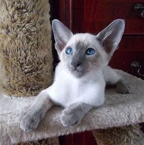 Blue Point Siamese Mix Kittens | www.pixshark.com - Images ...