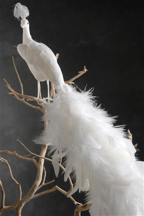 white feathered peacocks