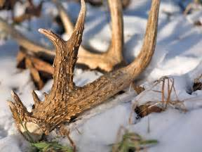 when do deer shed their antlers uk shed tips american whitetail