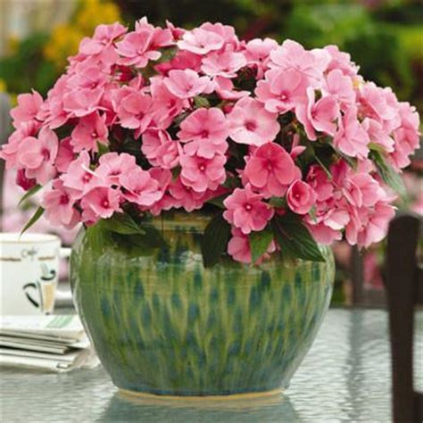 Impatiens New Guinea Divine Pink F1 ? Harris Seeds