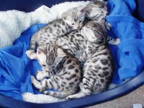 bengal cat breeders and of bengal cat meow meow