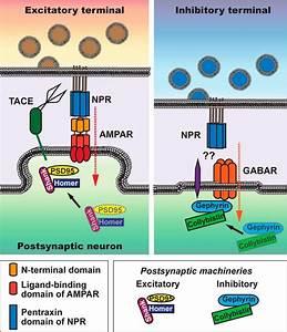 Presynaptic Neuronal Pentraxin Receptor Organizes