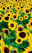 HD Wallpapers Sunflower Iphone Wallpaper Tumblr