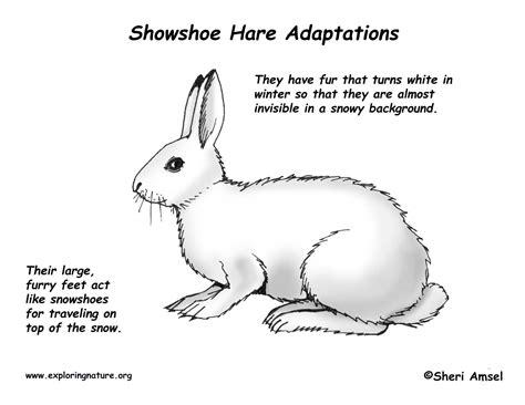 adaptations   snowshoe hare