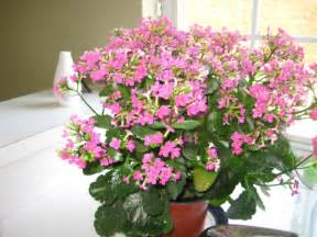 Indoor House Plant with Pink Flowers