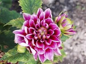 Quand Planter Des Dahlias : planter des dahlias tout savoir sur le dahlia au jardin le journal du jardin ~ Nature-et-papiers.com Idées de Décoration