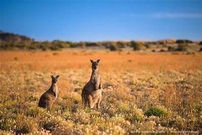 Kangaroo Island Canguri Kangaroos Wild Di Spotted