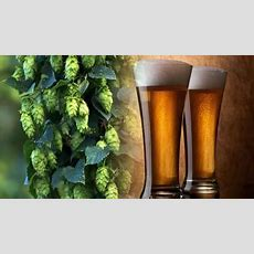 Hops Testing  Alcoholic Beverage Testing  Laboratory Grand Rapids