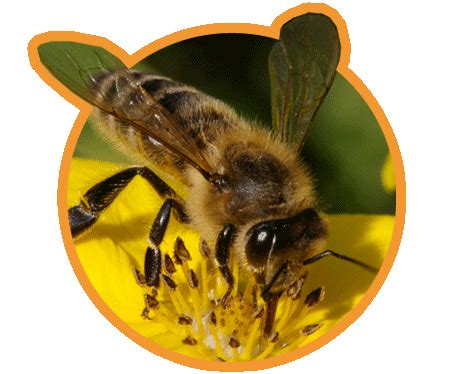 bee friendly native bee conservation