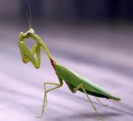 Praying Mantis Garden Pest Control