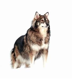 Siberian Husky German Shepherd Wolf Mix Photo - Happy Dog ...